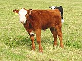 Picture of calves.